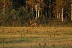 Zwierzęta w dzikim Fotografia Royalty Free