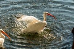 Zwierzęta w przyrodzie - Biali Egrets Zdjęcia Stock