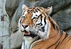 Zwierzę - tygrysy Zdjęcie Stock