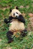 zwierzę zagrażająca gigantyczna panda Zdjęcia Royalty Free