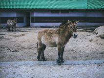 Zwierze domowy w zoo zakończeniu w górę zoo uprawiają ziemię lasowego konia zdjęcia stock