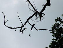 Zwilling angebundener Vogel auf Wipfel Lizenzfreie Stockbilder