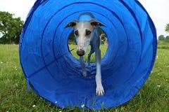 Zwinność pies w tunelu obrazy stock
