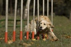 zwinności rywalizaci psa umiejętność Obraz Royalty Free