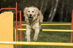 zwinności rywalizaci psa umiejętność Zdjęcia Stock