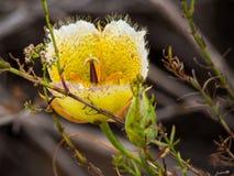 Zwischen-Mariposa Lili am Laguna-Küsten-Wildnis-Park, Laguna Beach, Kalifornien Lizenzfreie Stockfotografie