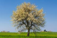 Zwischen Puglia und Basilikata: Frühlingslandschaft mit Weizenfeld Italien Einziger Baum in der Blüte über dem Maisfeld unausgere Stockfotografie