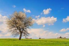 Zwischen Puglia und Basilikata: Frühlingslandschaft mit Weizenfeld Italien Einziger Baum in der Blüte über dem Maisfeld unausgere Stockbilder
