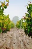 Zwischen Reihen von Reben in einem Weinberg auf einem nebeligen Herbstmorgen lizenzfreie stockfotografie