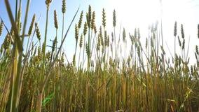 Zwischen Weizen mit Sonnengrellem glanz stock video
