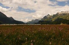Zwitserse alpen: De flora rond het gletsjer-meer Sils stock afbeeldingen
