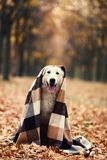 Zwitserse herdershond met plaid royalty-vrije stock afbeelding