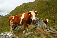 Zwitserse koe Royalty-vrije Stock Fotografie