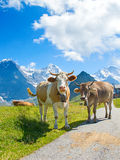 Zwitserse koe Stock Foto's