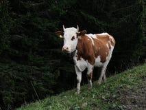 Zwitserse Koe in de bergen Royalty-vrije Stock Foto