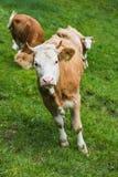 Zwitserse Koe op een grasgebied in frutigen Stock Afbeelding