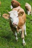 Zwitserse Koe op een grasgebied in frutigen Royalty-vrije Stock Foto's