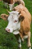 Zwitserse Koe op een grasgebied in frutigen Stock Foto