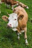 Zwitserse Koe op een grasgebied in frutigen Royalty-vrije Stock Afbeeldingen