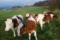 Zwitserse Koeien Stock Afbeeldingen