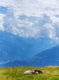 Zwitserse koeien in bergen in Alpen Stock Afbeelding