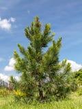 Zwitserse pijnboom Stock Afbeeldingen