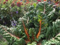 Zwitserse snijbiet en zinniaabloemen in tuin Royalty-vrije Stock Afbeelding