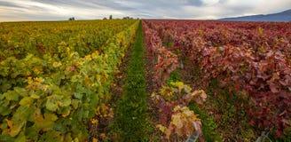 Zwitserse Wijngaard III stock afbeeldingen
