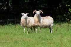 Zwo sheeps Lizenzfreies Stockfoto
