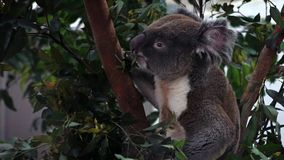 Zwolnione Tempo ślicznego koali łasowania eukaliptusowi liście w lasy przy zoo