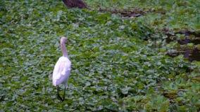 Zwolnione Tempo dorosły biały Egretta Garzetta w wodzie jezioro taipei zbiory