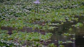 Zwolnione Tempo dorosły biały Egretta Garzetta w wodzie jezioro taipei zdjęcie wideo