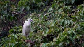 Zwolnione Tempo dorosły ptasi biały Egretta Garzetta na drzewie Taipei miasto zdjęcie wideo