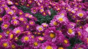 Zwolnione tempo kamery lot nad polem od blisko rosnąć pomarańcze, biel, purpura kwiatów pokrywa od chryzantemy zbiory