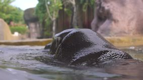 Zwolnione tempo Pigmejowy hipopotam bierze skąpanie w jeziornej wodzie przy dniem w zoo zdjęcie wideo