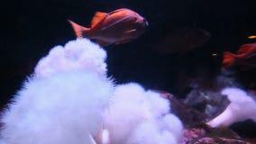 Zwolnione tempo pomarańcze ryba zbiory