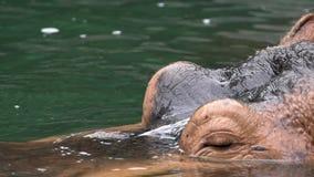Zwolnione Tempo pospolity hipopotam wtyka za swój głowie od słodkowodnego jeziora zdjęcie wideo