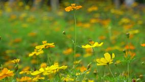 Zwolnione tempo pszczoły lądowanie na dwa kwiatach troszkę zdjęcie wideo