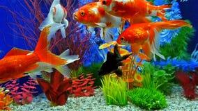 Zwolnione Tempo Rybi dopłynięcie W Słodkowodnym akwarium zbiory wideo
