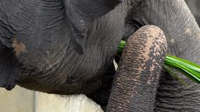 Zwolnione tempo słoń bez kła je trawy Zamyka w górę asiatic słonia zdjęcie wideo
