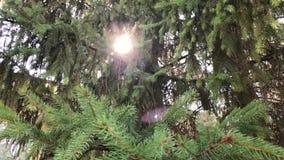 Zwolnione tempo strzał piękna zielona conifer gałąź z światłem słonecznym zdjęcie wideo
