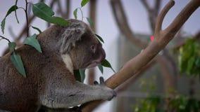 Zwolnione Tempo wspina się eukaliptusowego drzewa z zielonymi liśćmi przy zoo śliczna koala