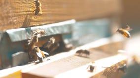 zwolnionego tempa wideo mrowie pszczół komarnicy w rój zbiera pollen stylu życia niedźwiedzia miód beekeeping pojęcia pszczoła zbiory wideo