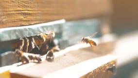 zwolnionego tempa wideo mrowie pszczół komarnicy w rój zbiera styl życia pollen niedźwiedzia miód beekeeping pojęcia pszczoła zbiory wideo