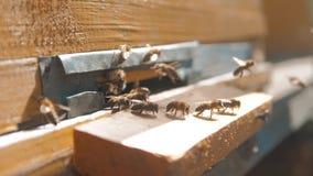 Zwolnionego tempa wideo pasieka mrowie pszczół komarnicy w rój zbiera pollen niedźwiedzia miód beekeeping pojęcia pszczoła zbiory wideo