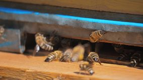 Zwolnionego tempa wideo pasieka mrowie pszczół komarnicy w roju styl życia zbiera pollen niedźwiedzia miód Beekeeping pojęcie zbiory wideo
