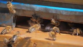 Zwolnionego tempa wideo pasieka mrowie pszczół komarnicy w stylu życia rój zbiera pollen niedźwiedzia miód Beekeeping pojęcie zbiory