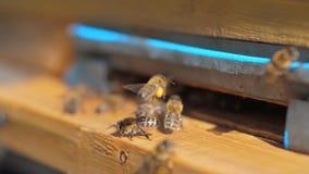 Zwolnionego tempa wideo pasieka mrowie styl życia pszczół komarnicy w rój zbiera pollen niedźwiedzia miód Beekeeping pojęcie zbiory wideo