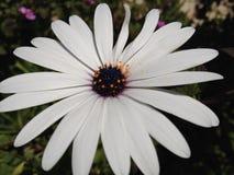 Zwrotnika kwiat Obrazy Royalty Free