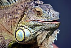 Zwyczajna iguana lub zielona iguana, jesteśmy wielkim trawożernym jaszczurką, prowadzi dziennego odrewniałego życie zdjęcia stock